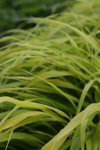 Golden Hakone Grass