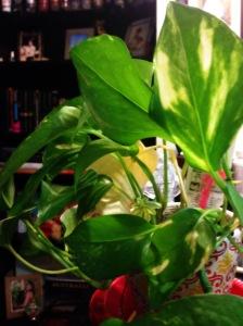 exotic angel plant