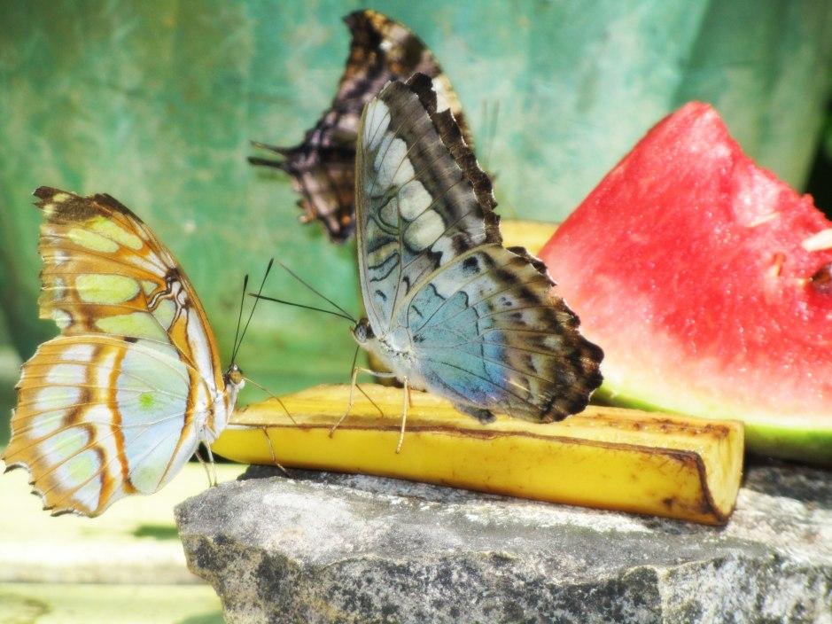 Butterflies in Aruba
