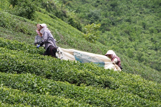 The slightly more automated way to pick the green tea leaves.