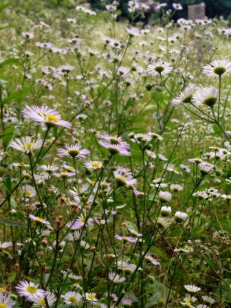 Field of daisies...