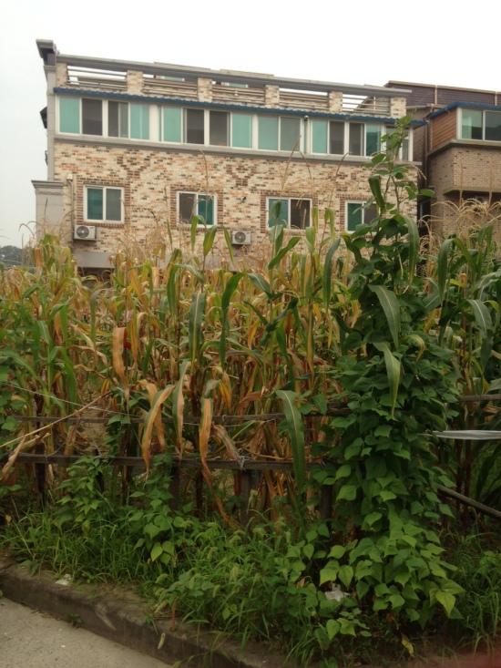 "Corn in Korean is pronounced ""oksusu."""